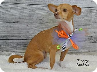 Chihuahua Mix Dog for adoption in Conroe, Texas - Floppy