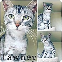 Domestic Shorthair Cat for adoption in St Clair Shores, Michigan - Tawney