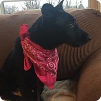 Adopt A Pet :: Tracey - Hanover, PA