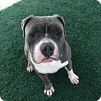 Adopt A Pet :: Big Boy - Chula Vista, CA