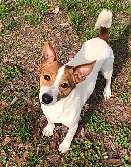 Fox Terrier (Smooth)/Basenji Mix Dog for adoption in Baton Rouge, Louisiana - Mickey