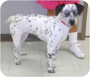 Dalmatian Mix Dog for adoption in Milwaukee, Wisconsin - Kippi