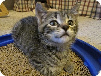 Domestic Shorthair Kitten for adoption in Richland, Michigan - Katia