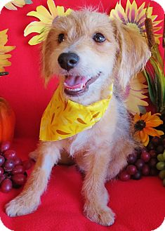 Dachshund/Terrier (Unknown Type, Small) Mix Puppy for adoption in Irvine, California - Calvin