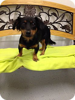 Dachshund Mix Dog for adoption in Reno, Nevada - Sansa