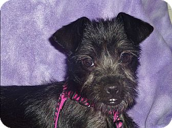 Schnauzer (Miniature)/Terrier (Unknown Type, Small) Mix Puppy for adoption in Norwalk, Connecticut - Lacy
