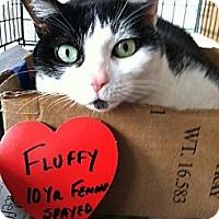 Adopt A Pet :: Fluffy - Whitestone, NY