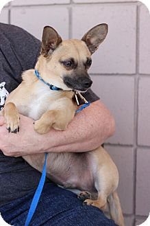 Chihuahua/Jack Russell Terrier Mix Dog for adoption in Providence, Rhode Island - Brandon in CT $99