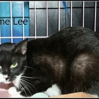 Domestic Shorthair Cat for adoption in Houston, Texas - Jaime Lee