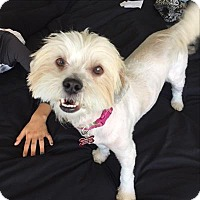 Adopt A Pet :: Honey - Encino, CA