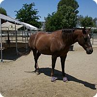 Quarterhorse Mix for adoption in Canyon Country, California - Topanga