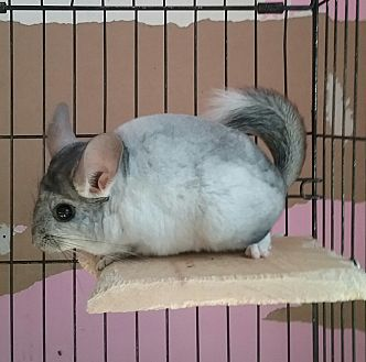 Chinchilla for adoption in Granby, Connecticut - Jona