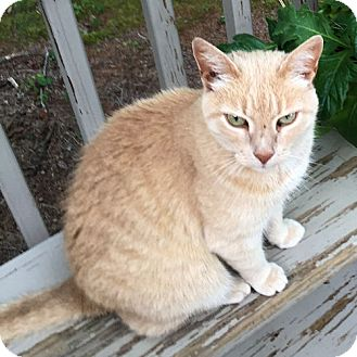 Domestic Shorthair Cat for adoption in Sidney, Maine - Molly