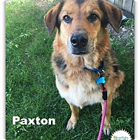 German Shepherd Dog/Collie Mix Dog for adoption in Plainfield, Illinois - Paxton