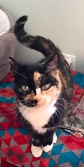 Calico Cat for adoption in Stroudsburg, Pennsylvania - Courtney