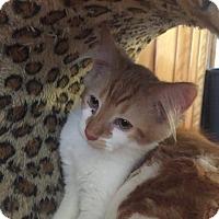 Domestic Mediumhair Kitten for adoption in Davison, Michigan - Gotti