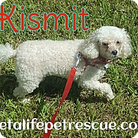 Poodle (Miniature) Dog for adoption in Wellington, Florida - Kismet