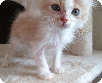 Domestic Mediumhair Kitten for adoption in San Bernardino, California - Chervil