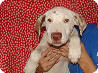 Mastiff/American Bulldog Mix Puppy for adoption in Oviedo, Florida - Dillon