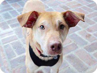 Labrador Retriever/Shar Pei Mix Dog for adoption in Burbank, California - Gunner-URGENT