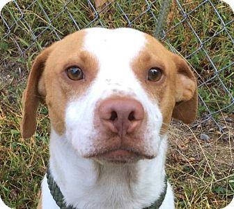 Pointer/Beagle Mix Dog for adoption in Washington, D.C. - Scout