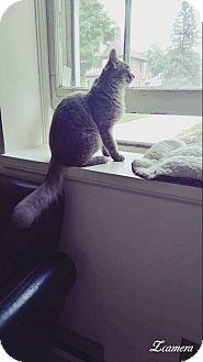 Domestic Mediumhair Cat for adoption in Hanover, Ontario - Misty
