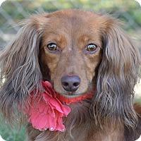 Adopt A Pet :: Goldilocks - Denver, CO