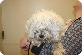 Cockapoo Mix Dog for adoption in Wildomar, California - 318343 LF