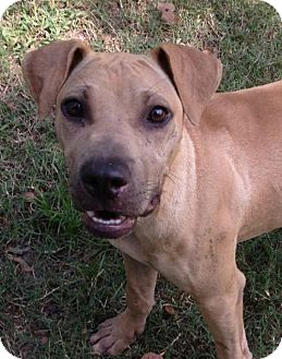 Shar Pei Mix Dog for adoption in Hagerstown, Maryland - Junior