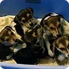 Adopt A Pet :: Beagle Pup 5