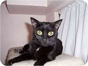 Bombay Cat for adoption in North Plainfield, New Jersey - Tuffy