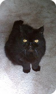 Exotic Cat for adoption in Beverly Hills, California - Samson