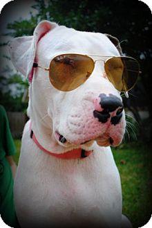 American Bulldog/Labrador Retriever Mix Dog for adoption in Orlando, Florida - Holiday
