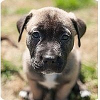 Adopt A Pet :: Paddy - Alexandria, VA