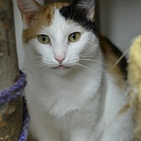 Domestic Shorthair Cat for adoption in Atlanta, Georgia - Marlena 14535