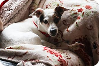 Terrier (Unknown Type, Medium)/Jack Russell Terrier Mix Dog for adoption in New Boston, New Hampshire - Andy