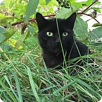 Adopt A Pet :: Gato - Livonia, MI