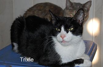 Manx Cat for adoption in Jackson, Mississippi - Trixie