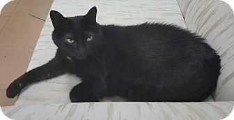 Domestic Shorthair Cat for adoption in Sunderland, Ontario - Bagira