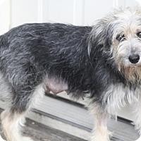 Adopt A Pet :: Brie - Woonsocket, RI
