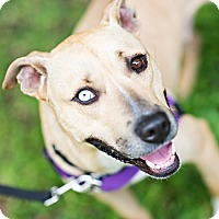 Black Mouth Cur Mix Dog for adoption in Houston, Texas - Rookie