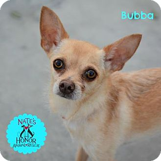 Chihuahua Mix Dog for adoption in Bradenton, Florida - Bubba
