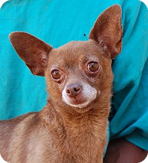Chihuahua Mix Dog for adoption in Las Vegas, Nevada - Randolph