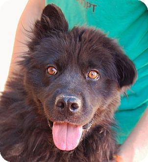 Chow Chow Mix Dog for adoption in Las Vegas, Nevada - Stephanie