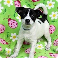 Adopt A Pet :: DIANNA - Westminster, CO