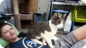 Domestic Shorthair Cat for adoption in North Las Vegas, Nevada - Yorick