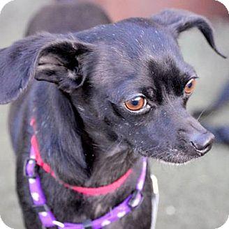 Chihuahua Mix Dog for adoption in Austin, Texas - Kiko