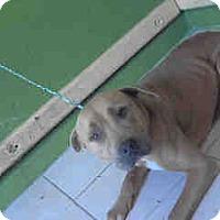 Adopt A Pet :: Sugar Mama A4989881 - Beverly Hills, CA