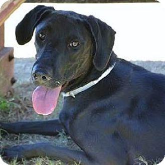 Pointer/Labrador Retriever Mix Dog for adoption in Athens, Georgia - Betsy