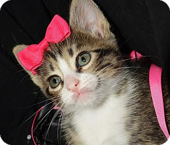 Domestic Mediumhair Kitten for adoption in Dallas, Texas - KOURTNEY